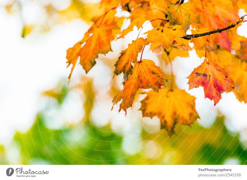 Natur Baum rot Blatt gelb Herbst Umwelt natürlich hell gold Jahreszeiten Postkarte Tapete Konsistenz Atmosphäre November