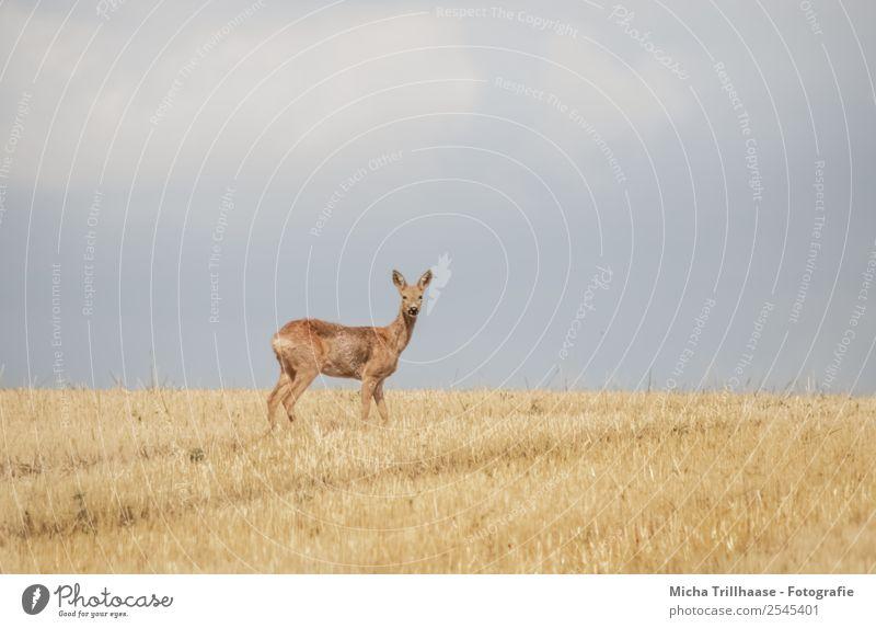 Reh auf dem Stoppelfeld Natur Tier Himmel Wolken Sonne Sonnenlicht Schönes Wetter Feld Wildtier Tiergesicht Fell Hirsche Ohr 1 beobachten Fressen Blick nah