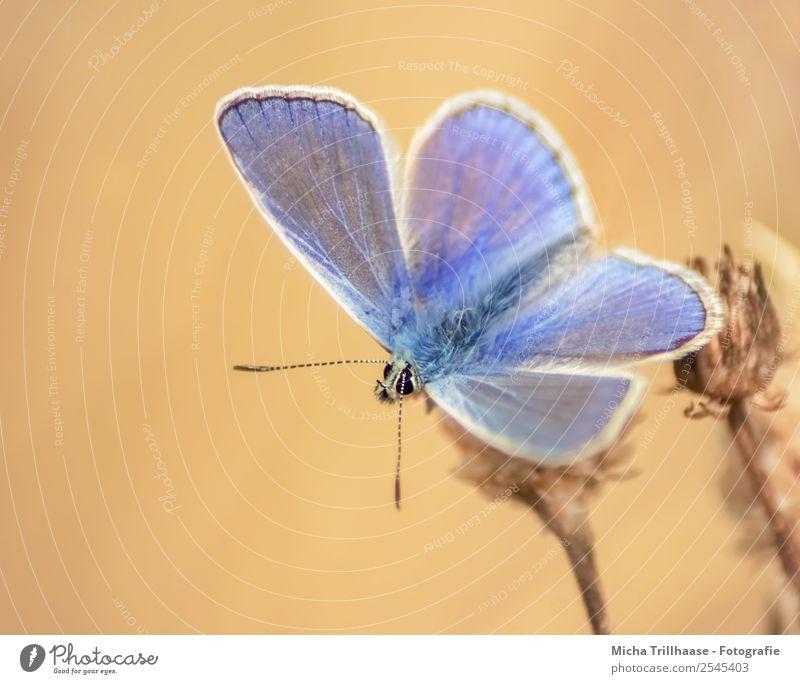 Bläuling im Abendlicht Natur Tier Sonnenlicht Sommer Schönes Wetter Blume Wiese Wildtier Schmetterling Tiergesicht Flügel Bläulinge Fühler 1 beobachten Fressen