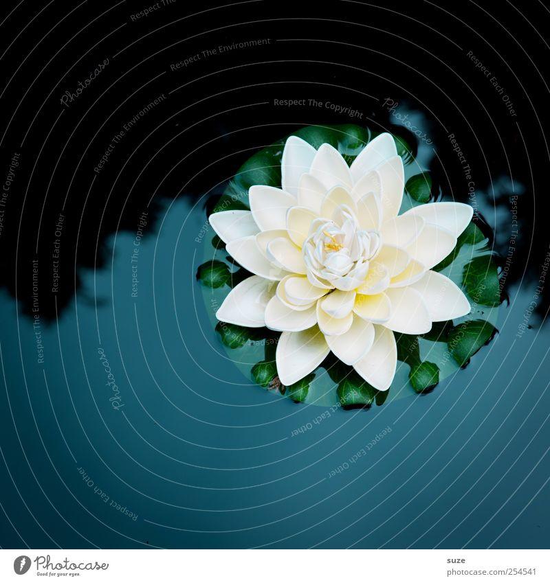 Seerose Umwelt Natur Urelemente Wasser Pflanze Blatt Blüte Seerosen Seerosenblatt Teich Blühend dunkel kalt schön blau weiß zart Dekoration & Verzierung Kitsch