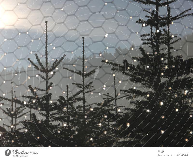 allüberall auf den Tannenspitzen... Umwelt Natur Pflanze Wassertropfen Himmel Sonnenlicht Eis Frost Baum Nutzpflanze Weihnachtsbaum Zaun Maschendrahtzaun Metall