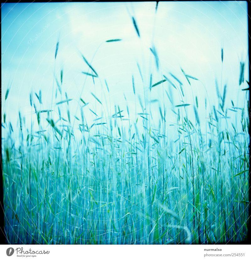 in Ehren Lebensmittel Getreide Ernährung Lifestyle Reichtum Freizeit & Hobby Kunst Natur Sommer Pflanze Nutzpflanze Kornfeld Wachstum nachhaltig natürlich