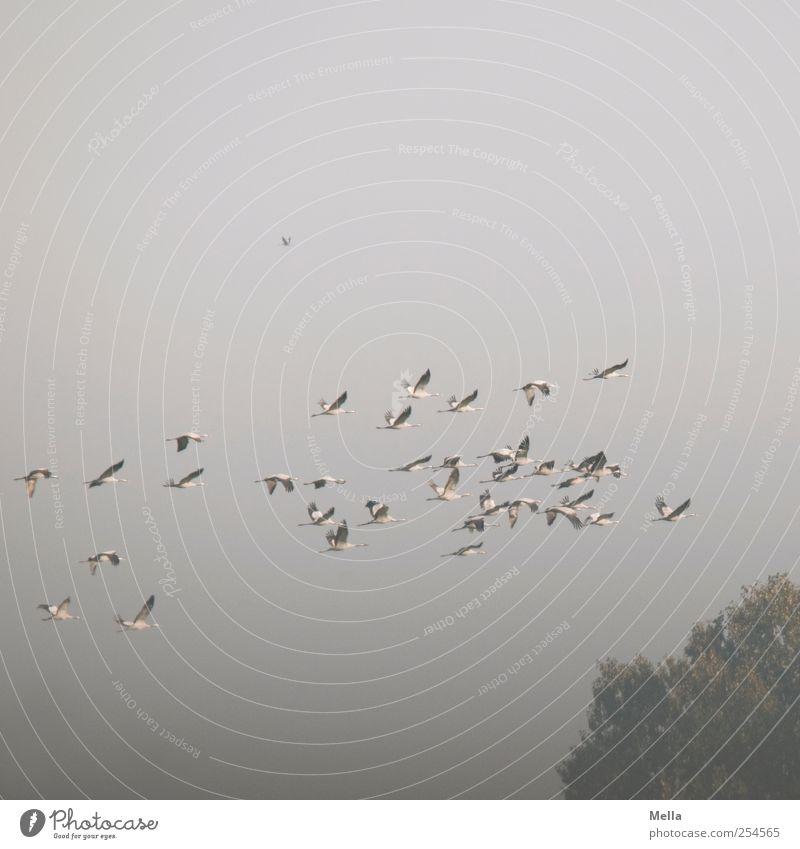 [Linum 1.0] Sammelflug Natur Baum Tier Umwelt Freiheit grau Luft Vogel Zusammensein fliegen frei natürlich Baumkrone Schwarm Kranich ansammeln