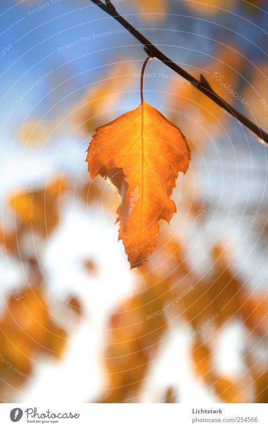 goldener herbst II Umwelt Natur Luft Himmel Sonnenlicht Pflanze Baum Blatt Birke Park blau braun gelb rot Farbfoto Außenaufnahme Menschenleer Textfreiraum unten