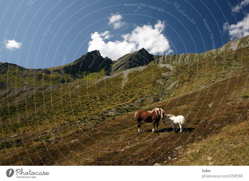 Vorarlberg und nicht Island Natur Sommer Tier Ferne Umwelt Freiheit Landschaft Berge u. Gebirge Felsen wandern Abenteuer Tourismus Klima Pferd Hügel Alpen