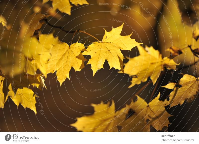 Farbrausch V Pflanze Herbst Baum Blatt gelb leuchten leuchtende Farben Herbstlaub Indian Summer Ahorn Ahornblatt Ahornzweig herbstlich Herbstfärbung Blätterdach