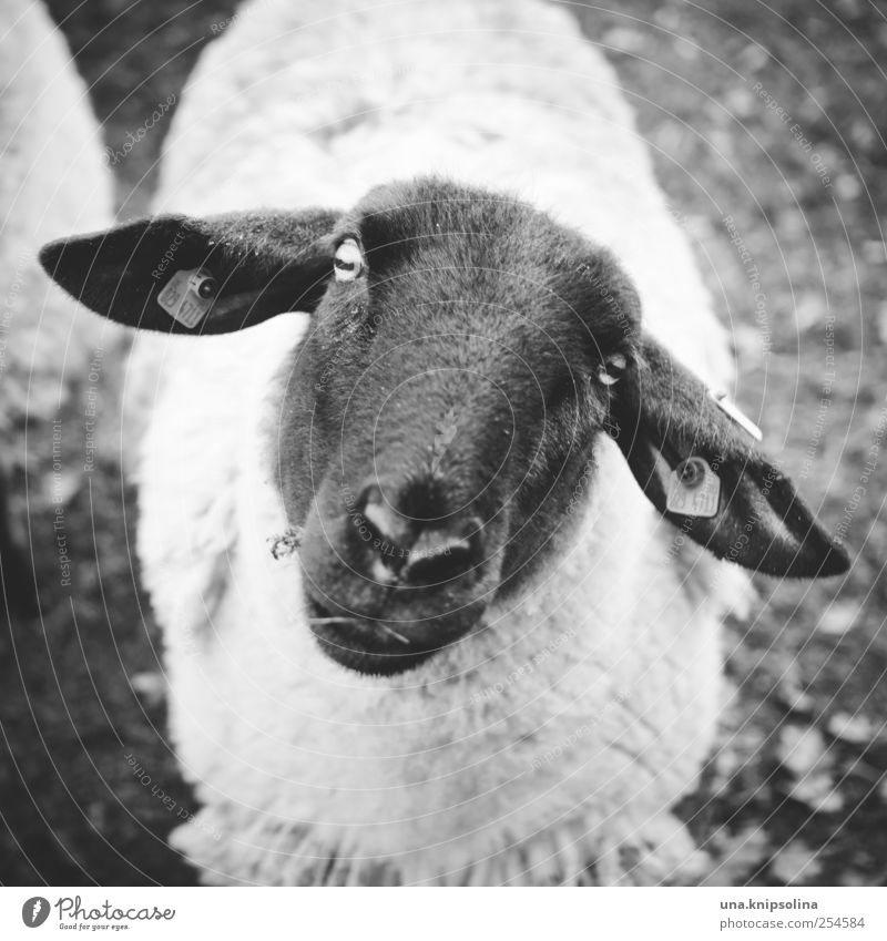 treue seele Umwelt Natur Tier Nutztier Tiergesicht Fell Schaf 1 beobachten Freundlichkeit natürlich niedlich schwarz weiß Vertrauen unschuldig Wolle mäh
