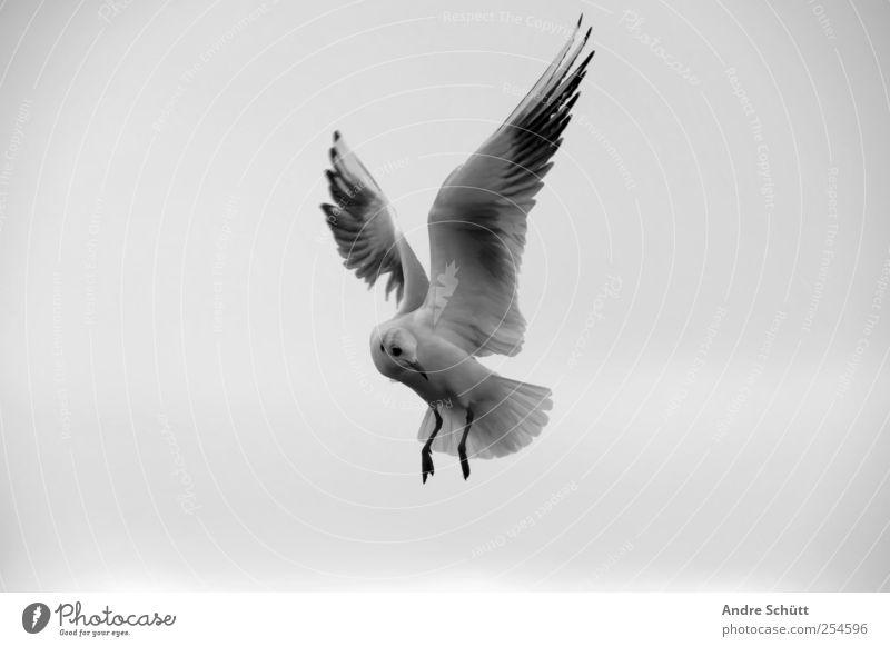 Pls don't feet seagulls ! Natur Himmel Wolken Tier Vogel Möwe 1 fliegen trist grau schwarz weiß Bewegung Schwarzweißfoto Außenaufnahme Menschenleer