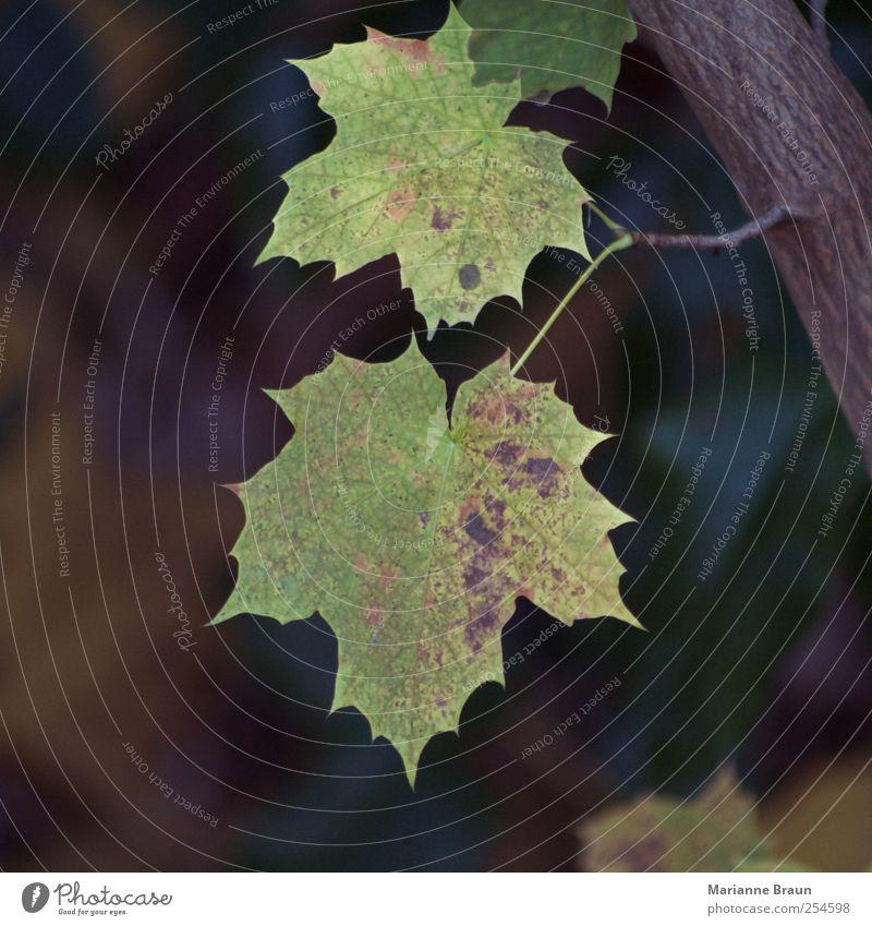 2 Baum Blatt braun mehrfarbig gelb grün Ahorn Ahornblatt Herbst Herbstlaub Traurigkeit Vergänglichkeit Verfall Tod Jahreszeiten November Baumrinde Blattadern