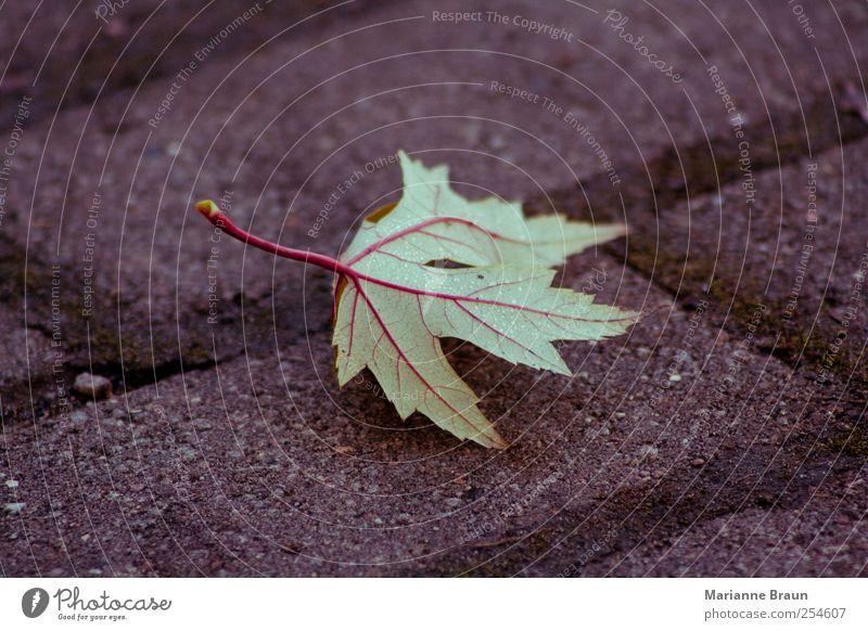 Adern Blatt grün rot Ahorn Ahornblatt Blattadern geädert Tau Wasser Wassertropfen Kopfsteinpflaster Pflastersteine Fuge Moos Herbstlaub gefallen