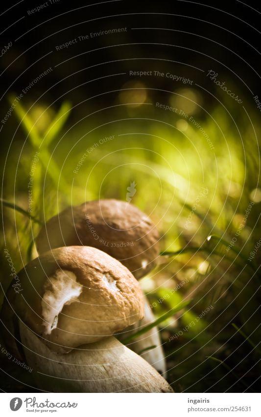 Leckerbissen Ernährung Ausflug Umwelt Natur Pflanze Erde Sonnenlicht Sommer Gras Moos Steinpilze Pilz Wachstum klein lecker natürlich rund schön braun grün weiß