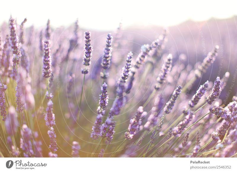 #A# Lila Duft Umwelt Natur Landschaft Pflanze ästhetisch Zufriedenheit violett Lavendel Lavendelfeld Lavendelernte Provence Frankreich Blühend