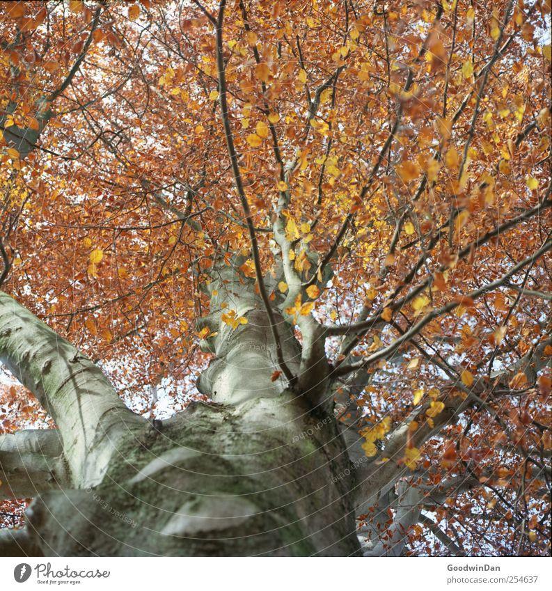 kurz war er dieses Jahr.. Natur schön Baum Pflanze Blatt Herbst Umwelt Wetter hoch groß authentisch