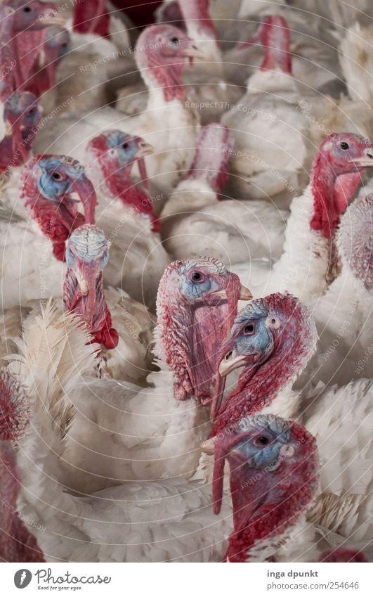 for a better life Fleisch Tier Nutztier Vogel Pute Truthahn Tiergruppe hässlich Tierliebe Umwelt Umweltschutz Körperhaltung Tierhaltung Tierpfleger
