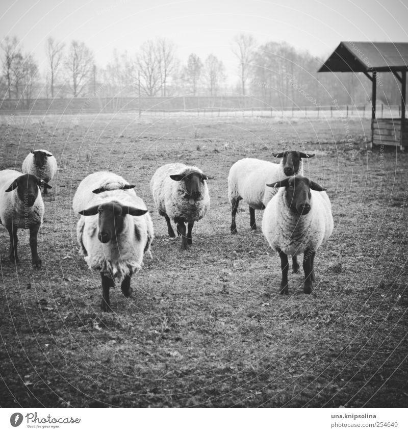 happy mäh mäh Umwelt Natur Tier Wiese Feld Nutztier Schaf Schafherde Tiergruppe Herde laufen Blick natürlich Wolle Nebel Weide Schwarzweißfoto Außenaufnahme