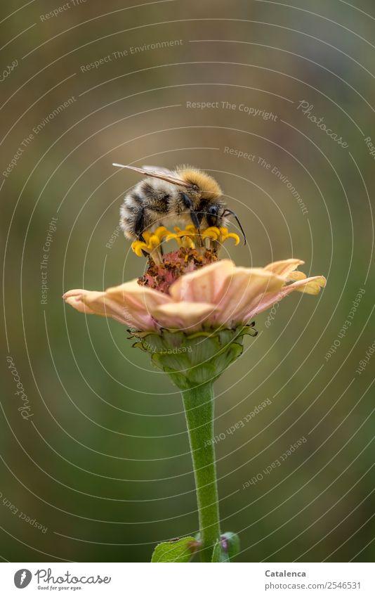 Sammlerin Natur Pflanze Tier Herbst Schönes Wetter Blume Blüte Garten Honigbiene Wildbiene Hummel 1 Blühend Fressen Erfolg schön nachhaltig braun gold grün