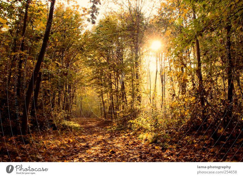 still. Sonnenlicht Herbst Baum Blatt Wald Herbstwald Herbstlaub herbstlich Herbstlandschaft leuchten gelb gold grün Wege & Pfade Fußweg Entscheidung Farbfoto
