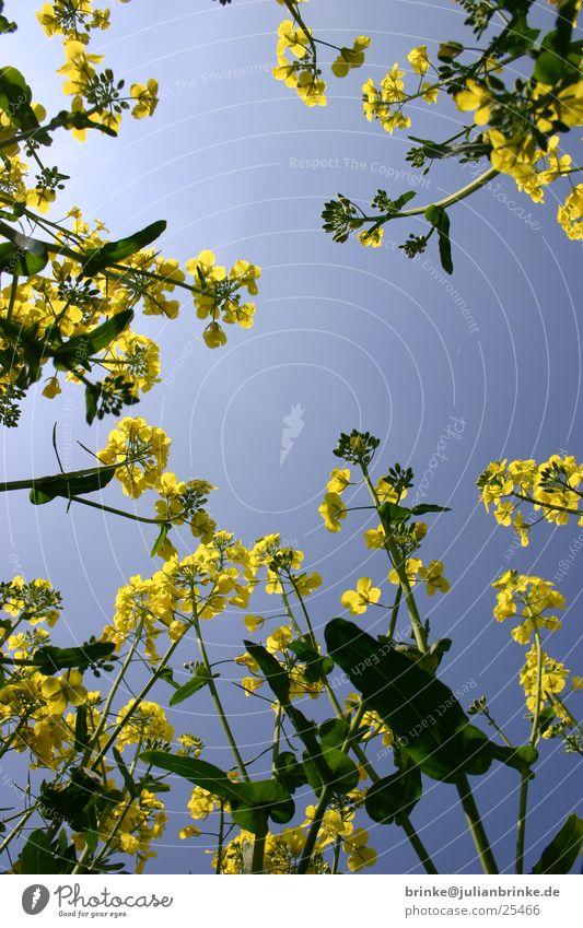 Himmel im Raps2 grün blau gelb liegen Krefeld