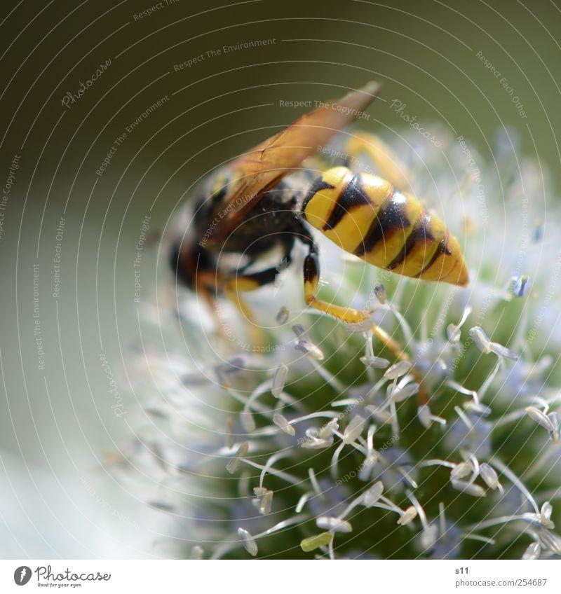 scharfer Hintern blau grün schön Pflanze Sommer Blume Tier schwarz gelb Umwelt Bewegung Blüte Beine hell Arbeit & Erwerbstätigkeit fliegen