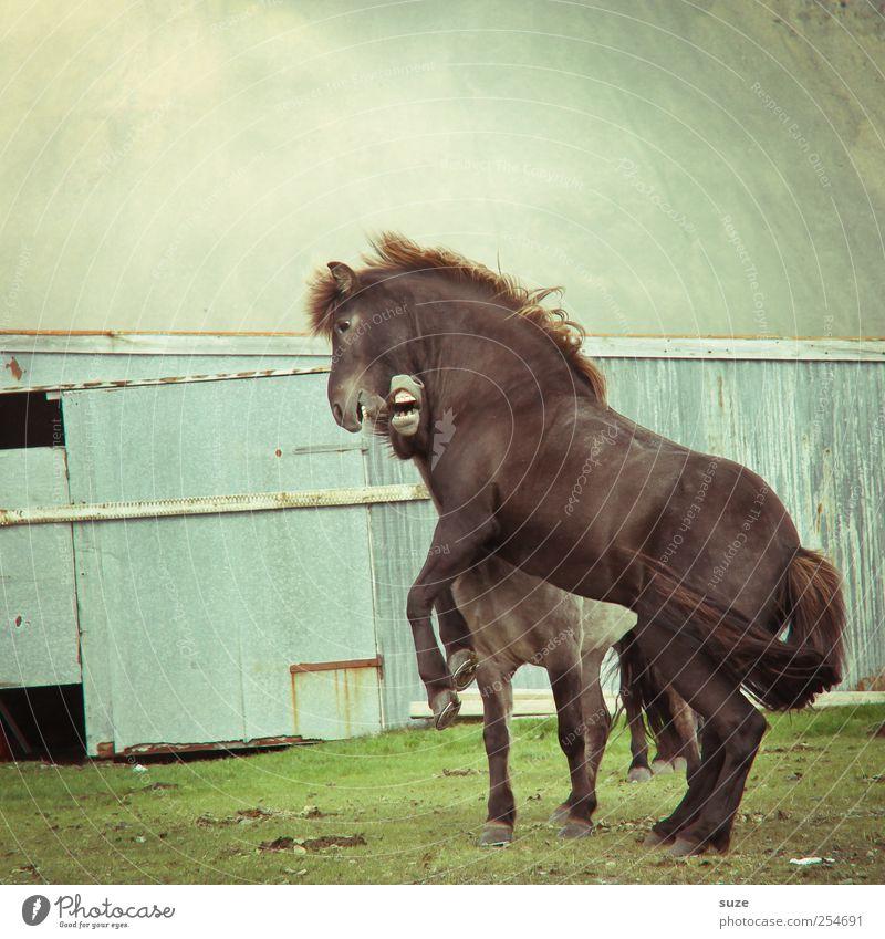 Freies Wildes Natur Tier Umwelt Wiese Stimmung Kraft Wildtier natürlich wild ästhetisch Macht Pferd Island kämpfen Willensstärke tierisch