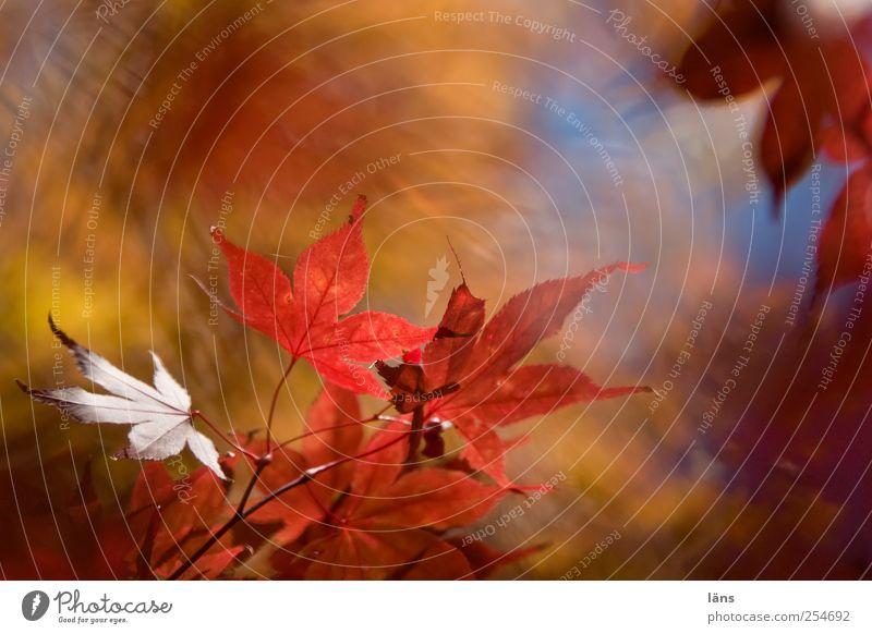 barock Natur Landschaft Pflanze Herbst Schönes Wetter Sträucher Blatt Grünpflanze Japanischer Ahorn Garten leuchten Wandel & Veränderung mehrfarbig