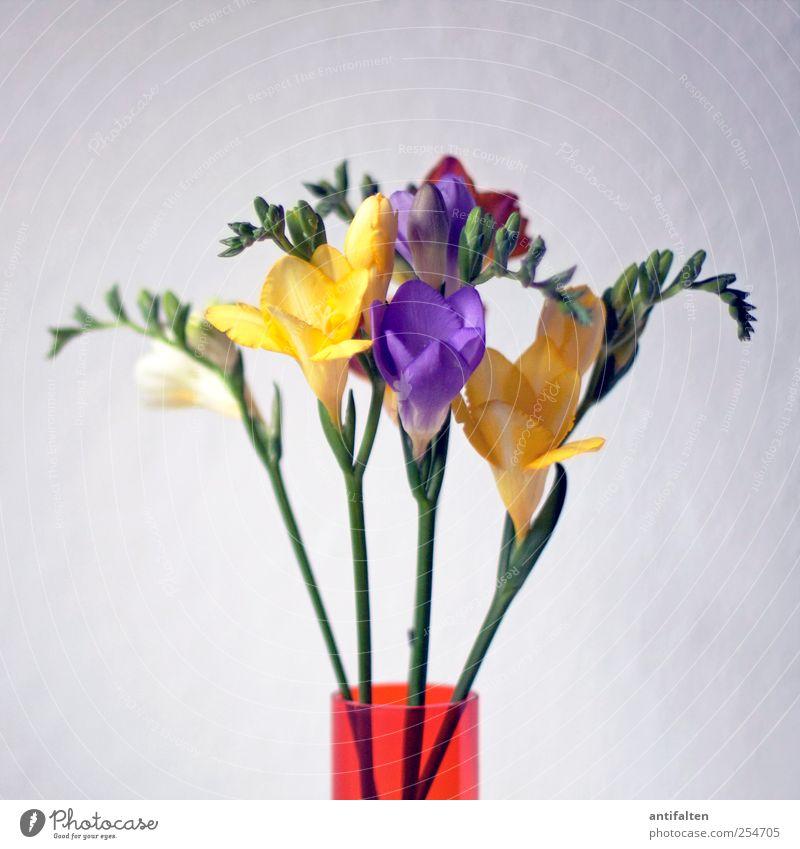 Fresien grün Pflanze Blume Sommer Blatt Farbe gelb Blüte Frühling Stimmung Glas ästhetisch violett Stengel Blumenstrauß Lebensfreude