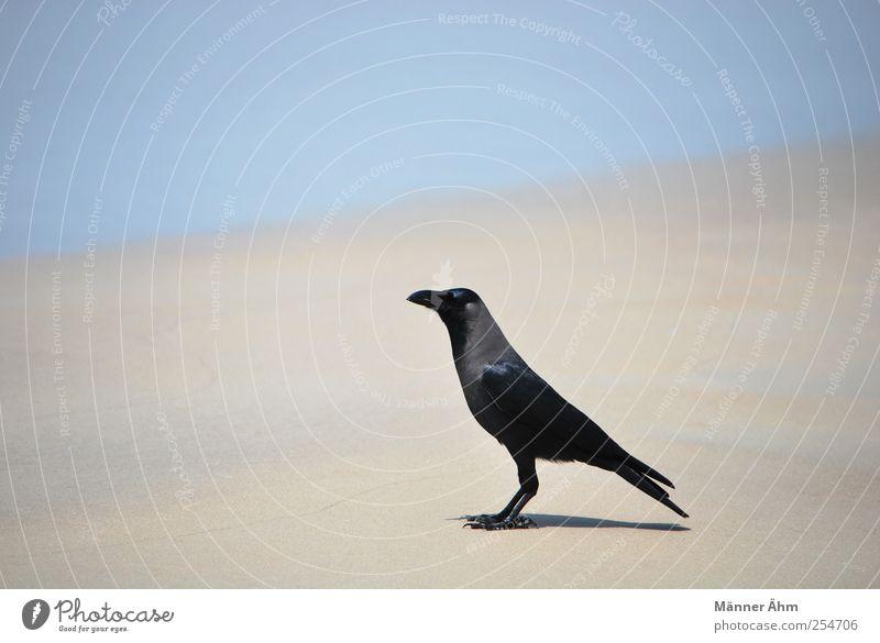 Meister Rabe. Meer Strand schwarz Sand Vogel Horizont Indien Krähe Rabenvögel Goa