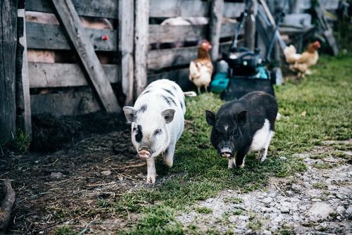 Minischweine Natur Landschaft Sommer Schönes Wetter Wiese Haustier Schwein Hausschwein Bewegung gehen laufen frech Zusammensein klein natürlich niedlich