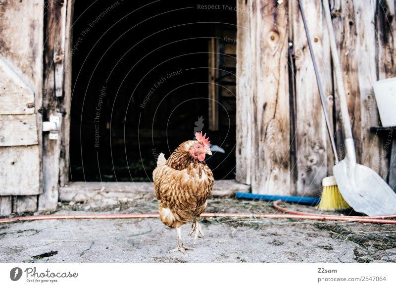 Stolzer Hahn Umwelt Hütte Nutztier 1 Tier stehen elegant frech Kraft Hochmut Identität Idylle einzigartig nachhaltig Natur Stall aufräumen Scheune Bauernhof