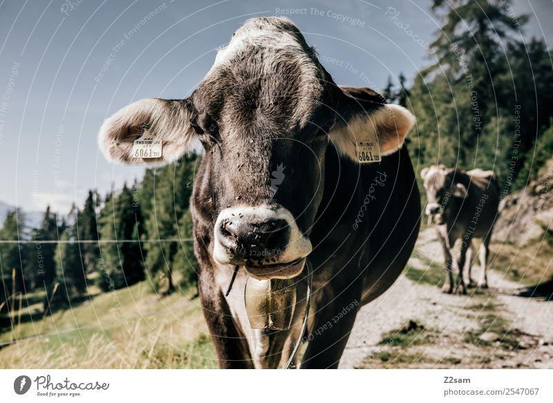 Pitztaler Kalb Berge u. Gebirge wandern Natur Landschaft Himmel Sommer Schönes Wetter Wald Alpen Kuh Blick Freundlichkeit Glück braun Gelassenheit ruhig
