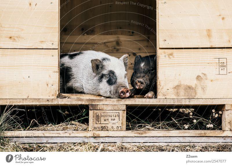 Minischweine Natur Landschaft Sommer Wiese Haustier Schwein minischweine 2 Tier Erholung genießen liegen schlafen natürlich niedlich Liebe Tierliebe