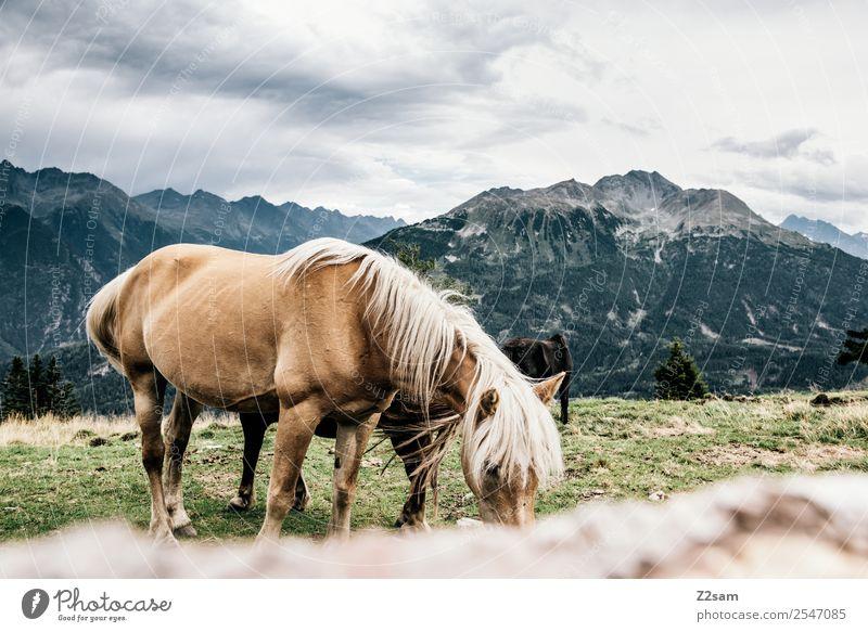 Pitztaler Pferde Ferien & Urlaub & Reisen Abenteuer Berge u. Gebirge wandern Umwelt Natur Landschaft Himmel Wolken Sommer Wiese Alpen 1 Tier Herde Essen füttern