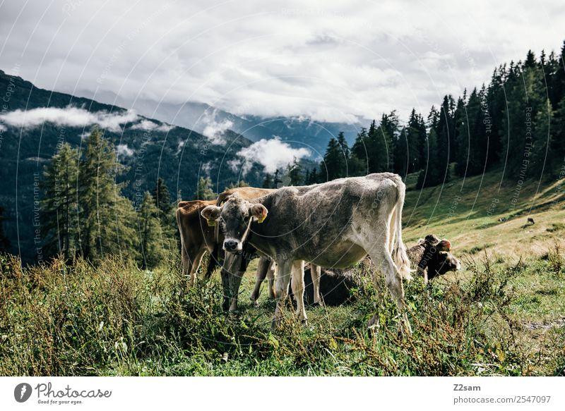 Pitztaler Kühe Berge u. Gebirge Umwelt Natur Landschaft Himmel Wolken Sommer Schönes Wetter Gras Wald Alpen Kuh 2 Tier Herde stehen nachhaltig natürlich grau