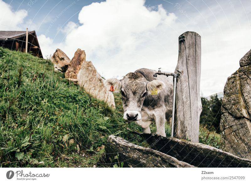 Pitztaler Kühe Ferien & Urlaub & Reisen Berge u. Gebirge wandern Umwelt Natur Landschaft Himmel Wolken Sommer Schönes Wetter Gras Alpen Kuh 1 Tier nachhaltig