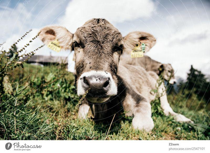 Pitztaler Kalb Ferien & Urlaub & Reisen wandern Umwelt Natur Landschaft Himmel Wolken Sommer Schönes Wetter Blume Gras Alpen Berge u. Gebirge Kuh 1 Tier Herde