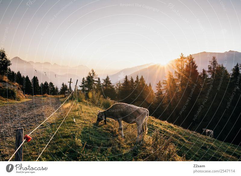 Sonnenaufgang | Kuh | Pitztaler Alpen Ferien & Urlaub & Reisen Tourismus Berge u. Gebirge wandern Natur Landschaft Sonnenuntergang Sonnenlicht Sommer