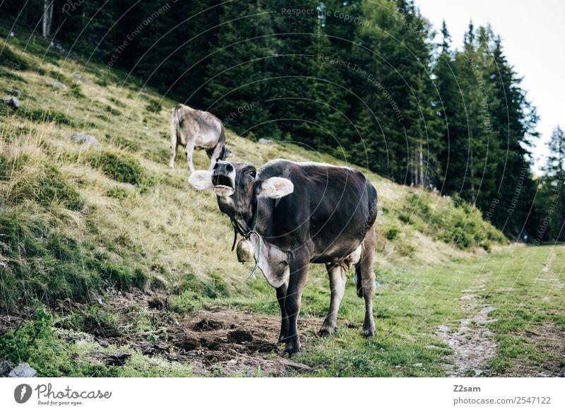 Muhende Kuh Ferien & Urlaub & Reisen Berge u. Gebirge wandern Natur Landschaft Schönes Wetter Wald Alpen 2 Tier nachhaltig natürlich grün Glück Zufriedenheit