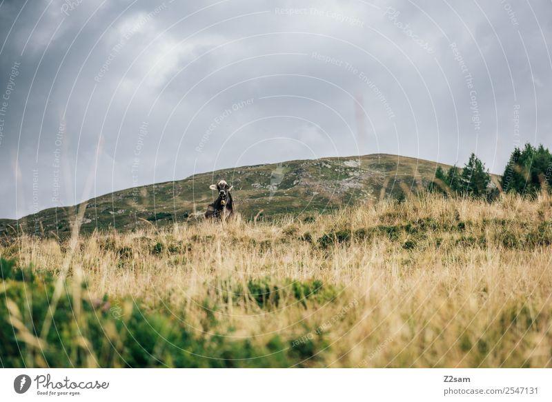 Pitztaler Kuh Ferien & Urlaub & Reisen Berge u. Gebirge wandern Umwelt Natur Landschaft Wolken Gewitterwolken Sommer schlechtes Wetter Gras Alpen Blick stehen