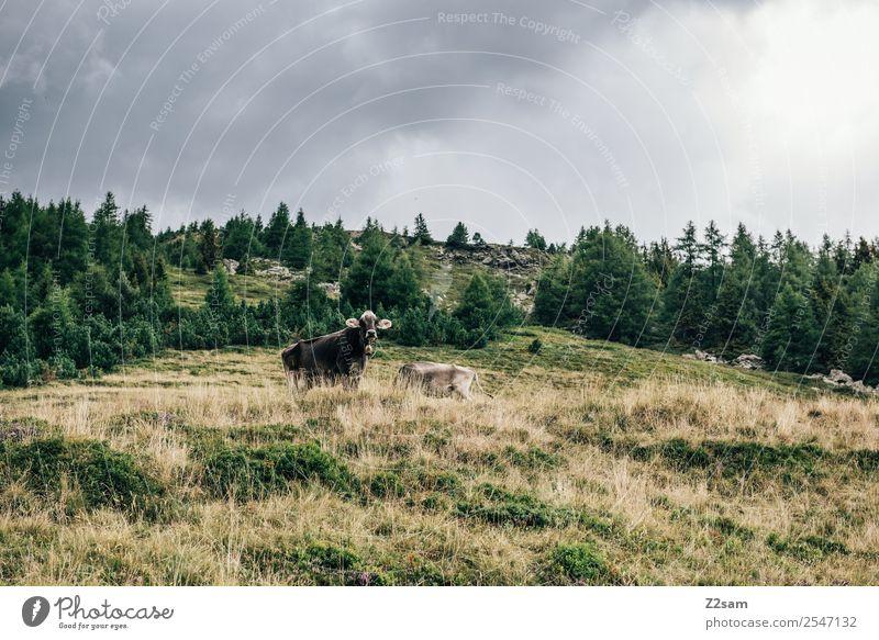 Pitztaler Kühe Berge u. Gebirge wandern Natur Landschaft Gewitterwolken Herbst schlechtes Wetter Wiese Alpen Kuh 2 Tier Herde Blick stehen Zusammensein