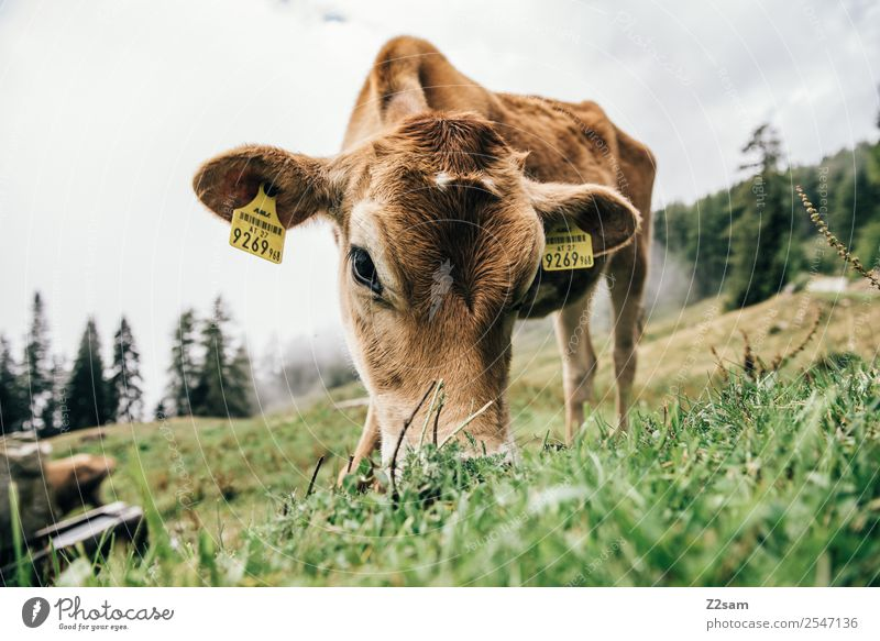 Pitztaler Kalb Berge u. Gebirge wandern Umwelt Natur Landschaft Sommer Nebel Gras Wiese Alpen Kuh Tierjunges Essen stehen natürlich braun achtsam ruhig Erholung