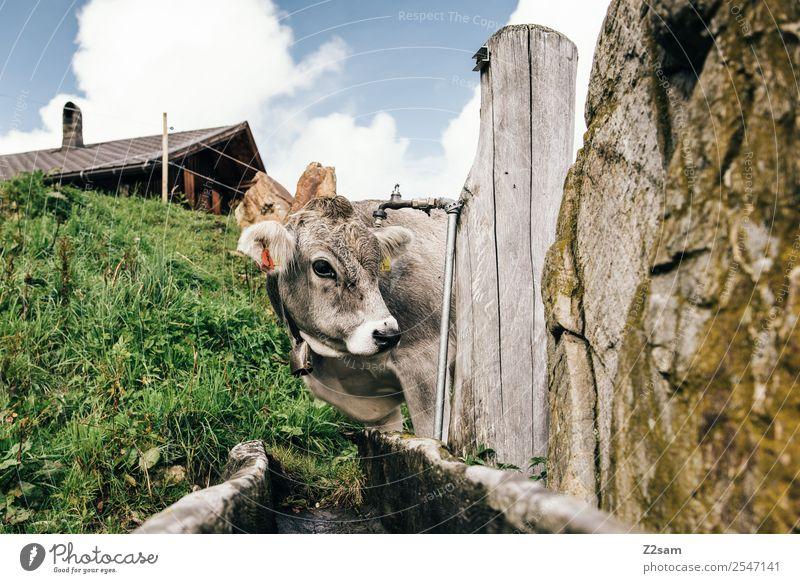 Pitztaler Kalb Ferien & Urlaub & Reisen Ausflug Berge u. Gebirge wandern Natur Landschaft Himmel Wolken Sommer Schönes Wetter Wiese Alpen Kuh 1 Tier Blick