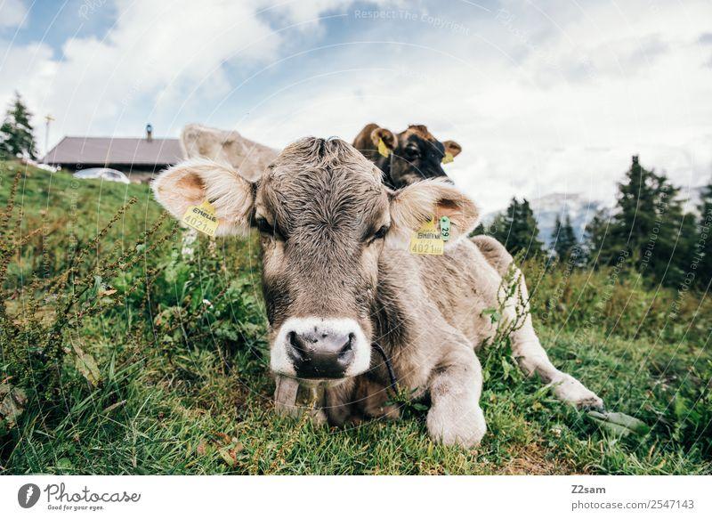 Pitztaler Kalb Berge u. Gebirge wandern Umwelt Natur Landschaft Himmel Wolken Sommer Schönes Wetter Gras Alpen Kuh Herde beobachten Blick nachhaltig natürlich