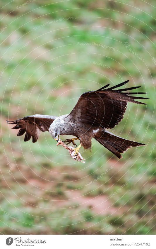 meat to go Tier Wildtier Vogel Krallen Pfote 1 fliegen Fressen wild braun grün Beute Bussard Greifvogel Farbfoto Außenaufnahme Textfreiraum links