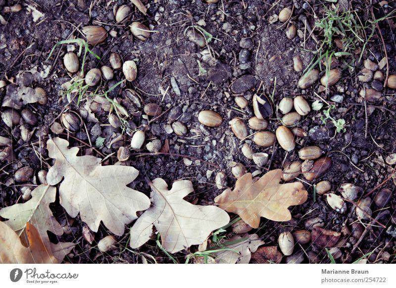99% ... Blatt braun mehrfarbig Baumfrucht Eicheln Herbst Herbstlaub Herbstfärbung Natur Umwelt natürlich natürliche Farbe Eichenblatt Blattadern geädert Erde