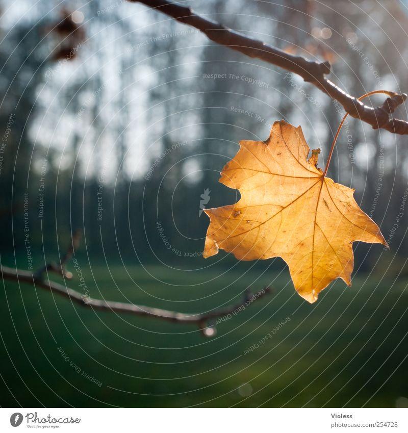 last leaf Pflanze Herbst Blatt Park fallen gold Planze Ahorn Ahornblatt Wandel & Veränderung Beleuchtung Strukturen & Formen Farbfoto Unschärfe