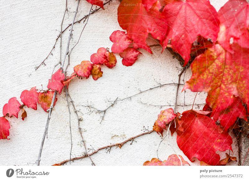 Wilder Wein im Herbst Umwelt Natur Pflanze Sommer Garten Park Senior rot Verfall Wand weiß Herbstlaub Vergänglichkeit Geschichtsbuch Wandel & Veränderung
