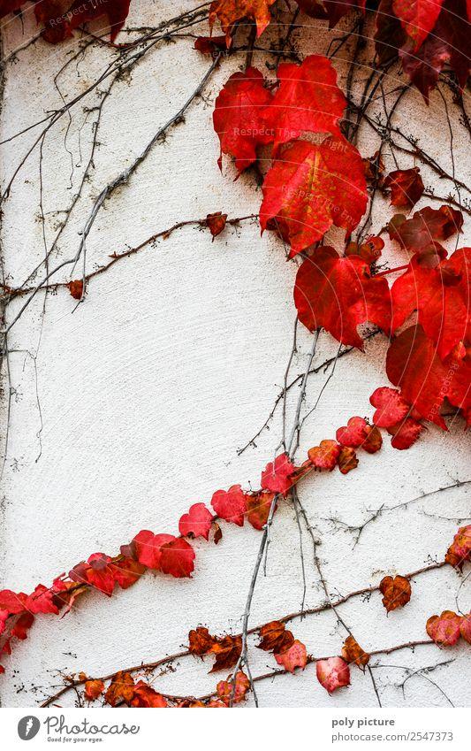 Wilder Wein Umwelt Natur Landschaft Pflanze Sommer Herbst Klimawandel Schönes Wetter Vergangenheit Vergänglichkeit Zukunft rot Wand weiß herbstlich