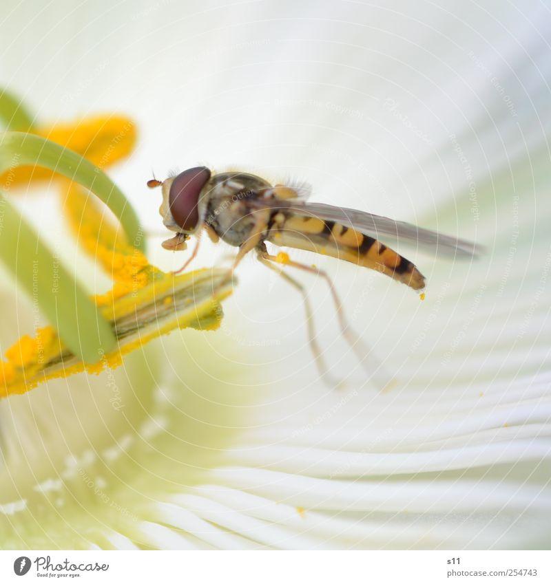 Zuckerschlecker Natur weiß schön Pflanze Blume Tier Auge gelb Garten Blüte fliegen Wildtier Fliege Flügel festhalten Tiergesicht