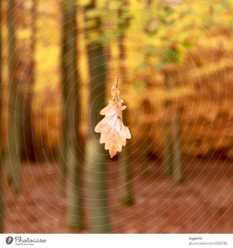 Herbstlicher Fall Natur Landschaft Pflanze Baum Blatt Wald alt Bewegung fallen fliegen braun gelb grün Stimmung Klima Umwelt Vergänglichkeit herbstlich welk