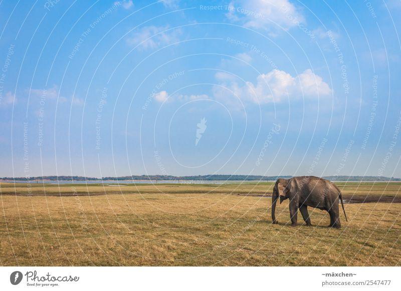 einzelner Elefant Ferien & Urlaub & Reisen Ferne Freiheit Safari Expedition Sommer Natur Wiese Tier Wildtier Elefantenhaut 1 Erholung Essen stehen alt Weisheit